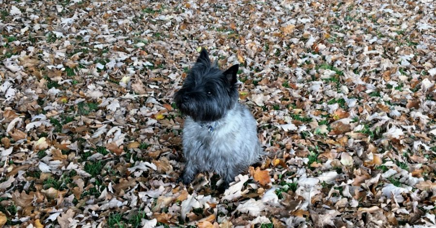 Cairn terrier in autumn leaves