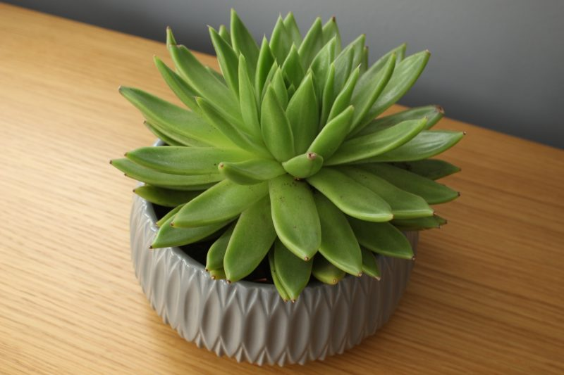 succulent from Tesco for £12
